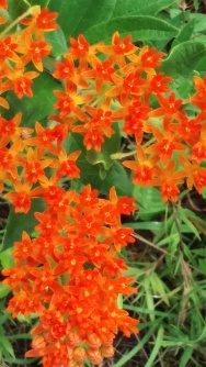 Asclepias tuberosa or Orange Milkweed
