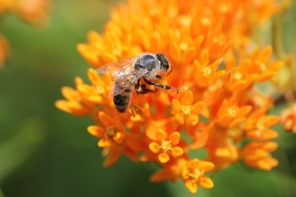 honey bee on butterfly milkweed