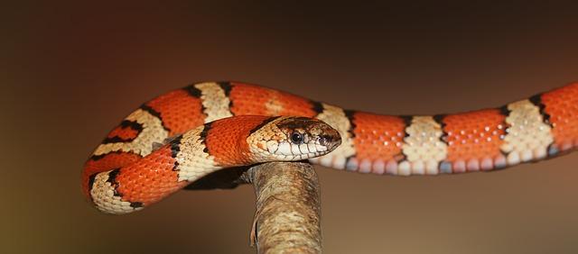 king snake non-poisonous