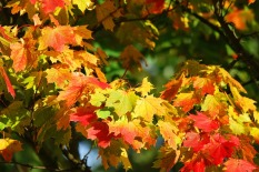 autumn-oak-foliage