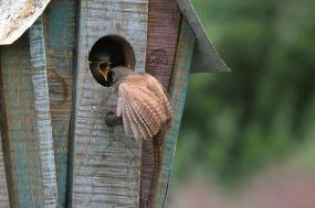 wren-feeding-young